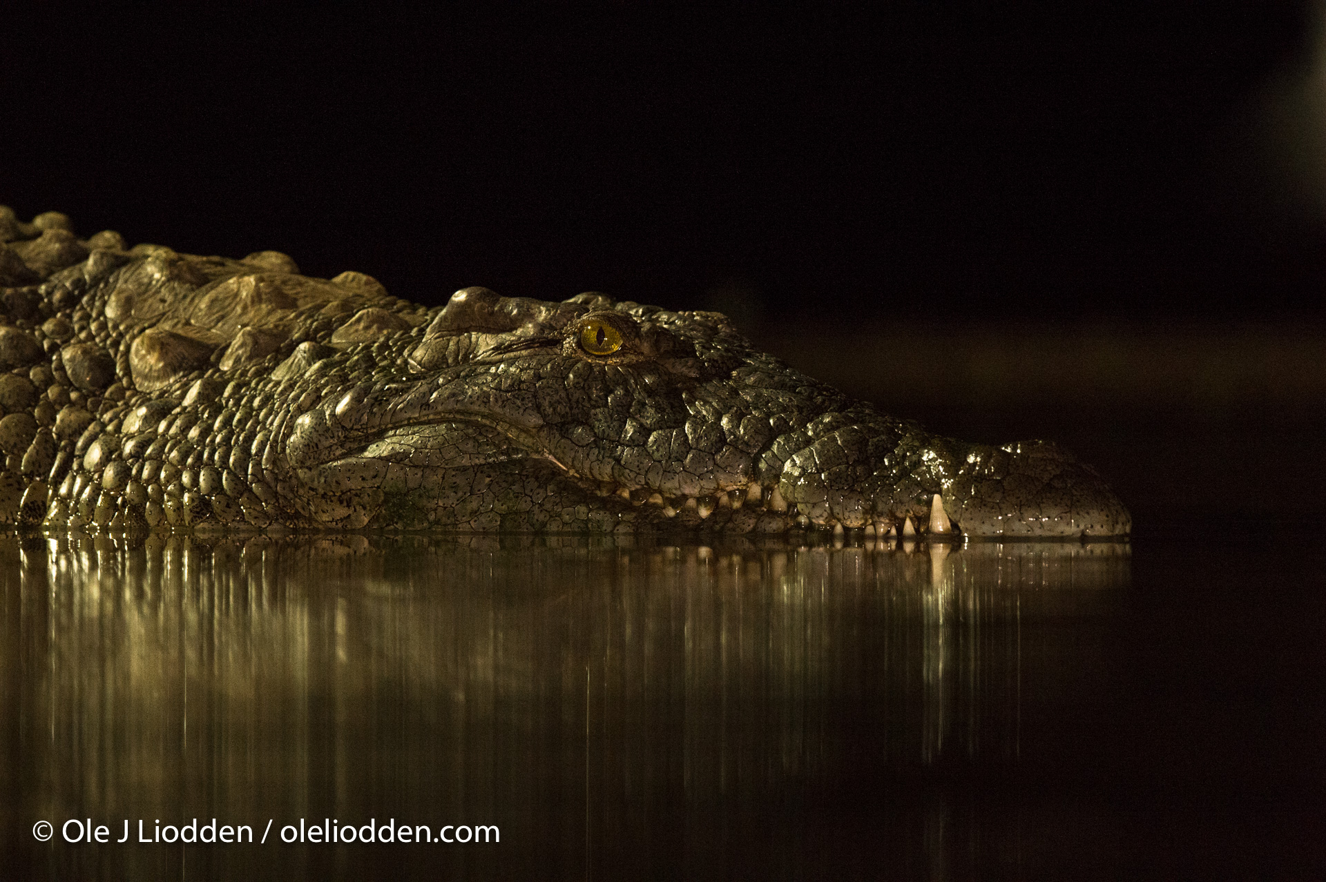 Crocodile at nigh